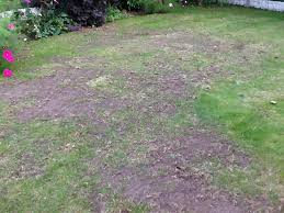how can i stop the blackbirds turning my lawn into scrubland lol ive scarified and put leatherjacket destroyer down and yet still they dig it up