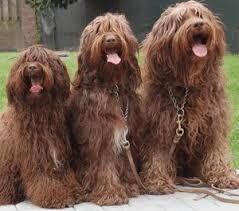 Complete Guide On Labradoodle Size And Weight Labradoodles