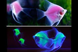 Transgenic Animals 12 Genetically Engineered Animals That Changed Modern