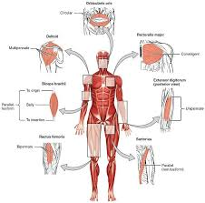 This muscle helps rotate the upper arm. 10 The Skeletal Muscles Of The Human Body With The Major Muscle Groups Download Scientific Diagram