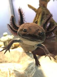 Small Picture 88 best images about Axolotl on Pinterest Toys Pets and Eggs