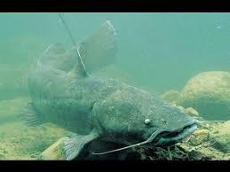 flathead catfish wallpaper. Perfect Catfish Inside Flathead Catfish Wallpaper T