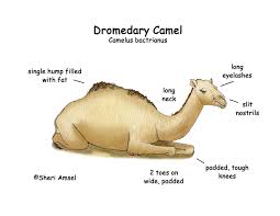 Small Picture Dromedary