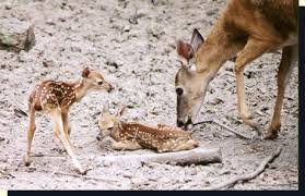 Fawn Age Chart Whitetail Fawns Behavior And Environment