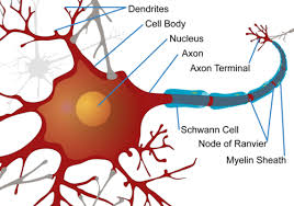 Neuron Structural And Functional Unit Of Neural System Ck