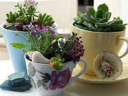 teacups are a great way to make succulents look fantastic indoors don t forget