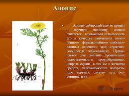 Презентация на тему Лекарственные растения Якутии В Якутии  3 Адонис