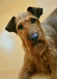 Irish Terrier Fun Facts And Crate Size Pet Crates Direct