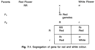 essay on the mendel s law of inheritance genetics segregation of gene for red and white colour