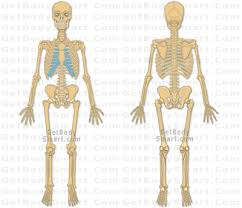 Anatomy, anatomy, medical & nursing. Get Body Smart Site Has All Kids Of Pictures From Any Angle You Can Imagine Of The Skeletal Skeletal System Anatomy Human Skeletal System Human Body Systems