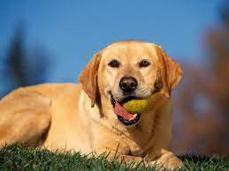 46+] Yellow Lab Wallpaper Pictures on ...