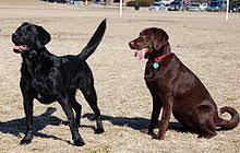 Labrador Color Chart Labrador Retriever Coat Colour Genetics Wikipedia