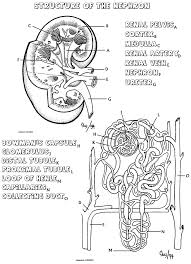 Small Picture Biology Corner Urinary System resources Medicine and Surgery