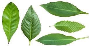 Separating,autumn leaves,white,blade,white background - free image from  needpix.com