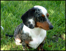 Image result for smooth coat dachshunds