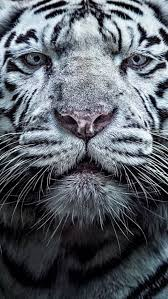 white tiger iphone 5 wallpaper. Beautiful White White Tiger With Iphone 5 Wallpaper A