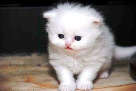 persian kitten singapore persian
