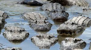 2017 Alligator Price Chart Florida Florida Man Allegedly Stabs Alligator To Death Tries To