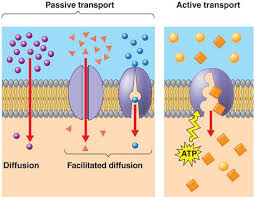 Active Vs Passive Transport Venn Diagram Passive Vs Active Transport Biology Eoc Prep Biology Ap