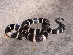 choosing a king snake or milk as pet california kingsnake lampropeltis californiae