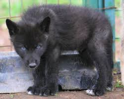 baby black wolf with blue eyes. Wolf Puppy Nia And Black Pup Image For Baby With Blue Eyes