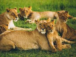lioness lion cub big cats family