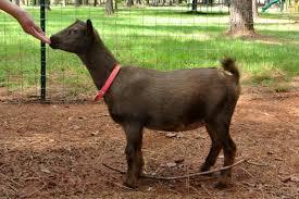 Nigerian Dwarf Goat Wikipedia