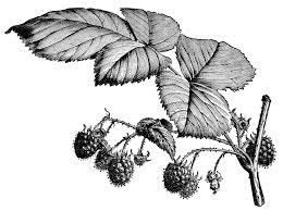 Fruiting Raspberry Branch Free Vintage Image Old Design Shop Blog