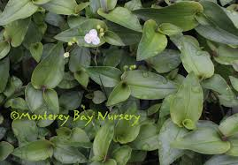 bed the houseplant of the old days hanging down to 2 3 from containers and blooming its tiny white flowers on wiry stems dark green leaves have