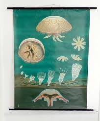 1960 Natural History School Chart Jellyfish Jung Koch