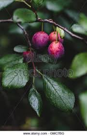 Guinevere Plum Trees For Sale  Buy Online  European DeliveryPurple Plum Tree Fruit