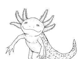 Small Picture Photo Axolotl Artwork Caudataorg