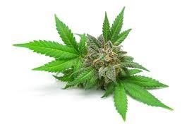 cannabis sativa hemp plant