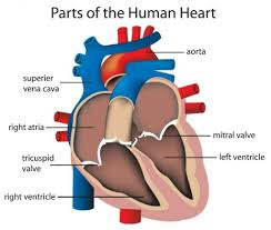 blocked valve heart  essay on the mam an heart 1572 words