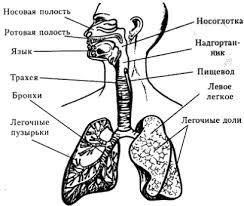 Строение и функции органов дыхания Органы дыхания