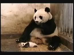 baby panda gif.  Panda Sneeze GIF Inside Baby Panda Gif Y