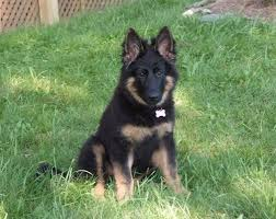 black and brown german shepherd puppies. Exellent German By Starrchar On 20 September 2013  1409 On Black And Brown German Shepherd Puppies S
