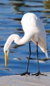 Garceta grande o garza blanca (Ardea alba) | Bird photo, Birds, White egret
