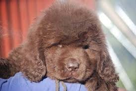 Newfie Puppy Growth Chart The 4 Life Stages Of The Newfoundland Dog My Brown Newfies