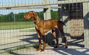 2x4 welded wire fence. A Dog Is Enclosed In The Fence That Composed Of Welded Wire Panels And 2x4
