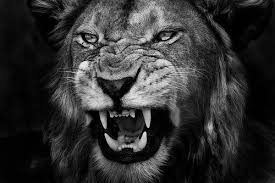 lion roaring black and white. Perfect Roaring Male Lion Roaring Black And White  Photo3 On Lion Roaring Black And White
