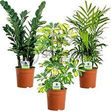office pot plants. Indoor Plant Mix - 3 Plants House / Office Live Potted Pot Tree ( E