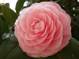 camellia onica anese camellia