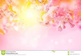 Beautiful Sakura Pink Flower Cherry Blossom And Sun