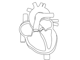 Anatomical Heart Coloring Pages