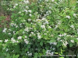 plant identification closed bushy t shrub with small white flowers 1 by shaigirl