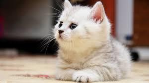 Cute Persian Cat 3D Wallpapers ...