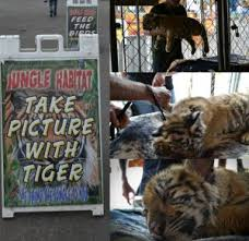 Say No To Cub Petting The Wildcat Sanctuary
