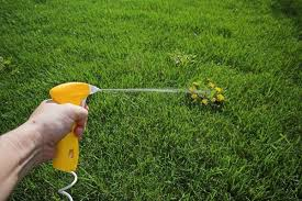 weed killer chemicals. Wonderful Chemicals Hand Spraying Weed Killer Onto A Largenweed That Is In Perfect Grass Lawn In Weed Killer Chemicals A