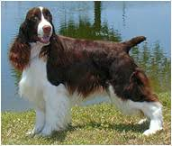 English Springer Spaniel Dog Breed Facts And Traits